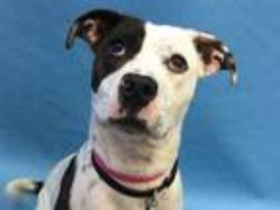 Adopt Priscilla a Brindle American Pit Bull Terrier / Mixed dog in Golden