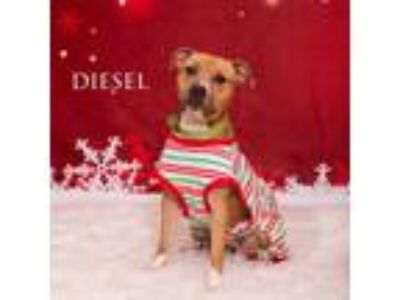 Adopt Diesel a Tan/Yellow/Fawn American Pit Bull Terrier / Mixed dog in Menands