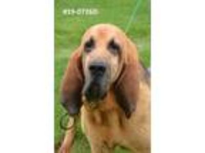 Adopt DOBY a Bloodhound