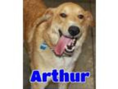 Adopt #3250 Arthur a White - with Tan, Yellow or Fawn Great Pyrenees / Mixed dog