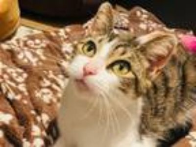 Adopt Friskie a Domestic Short Hair