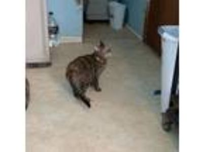 Adopt Lona a Brown Tabby Domestic Shorthair / Mixed (short coat) cat in