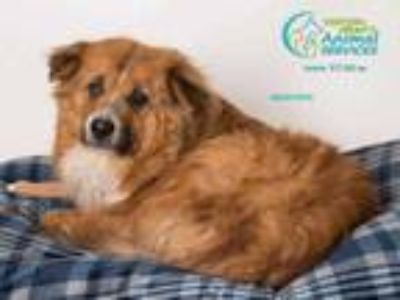 Adopt BEAR a Tricolor (Tan/Brown & Black & White) Border Collie / Mixed dog in