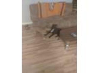 Adopt Shelbie a Black Labrador Retriever dog in Castle Rock, CO (25240378)