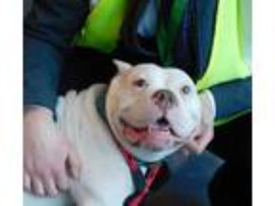 Adopt Blanche a Pit Bull Terrier