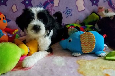 2 black & white female Tibetan Terrier Puppies