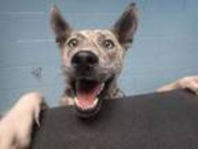 Adopt SPARKY a Brown/Chocolate Husky / American Pit Bull Terrier / Mixed dog in