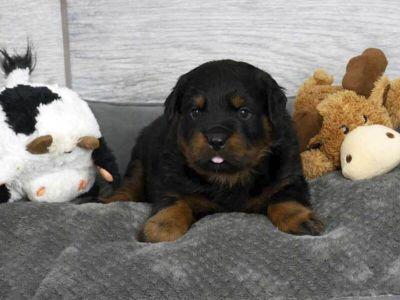 AKC German Rottweiler puppies champion pedigree