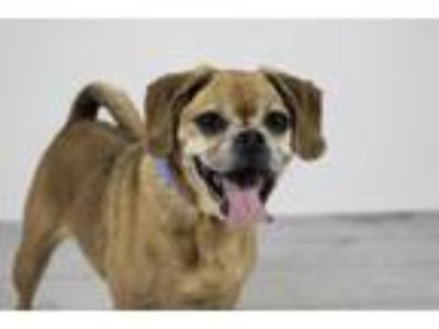 Adopt BELLA a Pug, Mixed Breed
