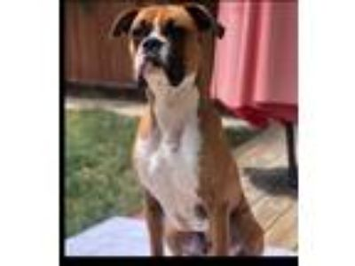 Adopt Copper a Red/Golden/Orange/Chestnut - with White Boxer / Mixed dog in
