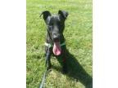 Adopt Shadow a Black Labrador Retriever / Great Dane / Mixed dog in Rockville