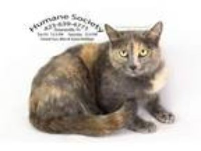 Adopt Fancy/AC 19510 B a Domestic Shorthair / Mixed (short coat) cat in
