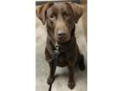 Adopt Riely a Brown/Chocolate Labrador Retriever / Mixed dog in O'fallon