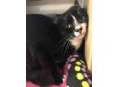 Adopt Oaken a Black & White or Tuxedo Domestic Shorthair (short coat) cat in