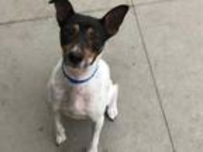 Adopt SPIKE a Tricolor (Tan/Brown & Black & White) Rat Terrier / Mixed dog in