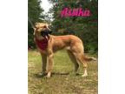 Adopt Assika a German Shepherd Dog