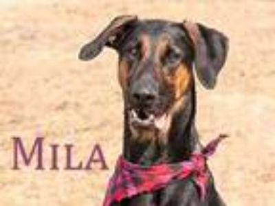 Adopt Mila a Black Doberman Pinscher / German Shepherd Dog / Mixed dog in