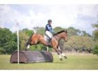 Price Reduced Talented OTTB Mare for Sale