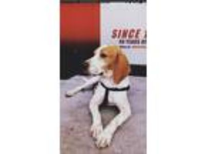 Adopt Elvis a Red/Golden/Orange/Chestnut Beagle / Schnauzer (Standard) / Mixed