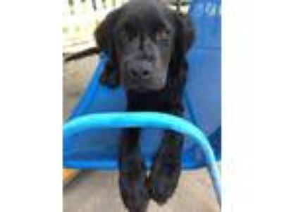 Adopt Rooster a Spaniel