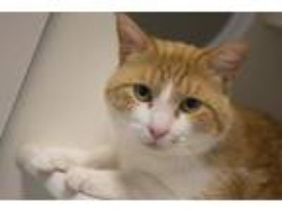 Adopt Sargent a Domestic Short Hair