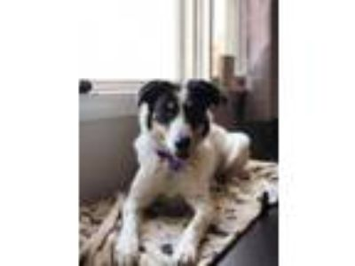 Adopt Cookie Dough a Border Collie, Australian Cattle Dog / Blue Heeler