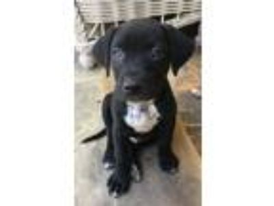Adopt Tony Bark, IronDog a Black - with White Labrador Retriever / Mixed dog in