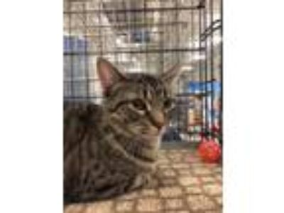 Adopt Ona a Brown or Chocolate (Mostly) Domestic Shorthair (short coat) cat in