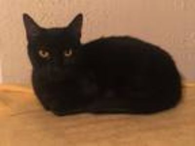 Adopt Sherlock a All Black Domestic Shorthair (short coat) cat in Lake Mary