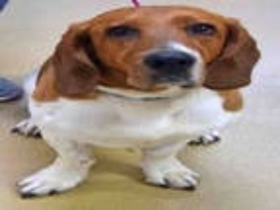 Adopt HUNTER a Tricolor (Tan/Brown & Black & White) Basset Hound / Beagle /