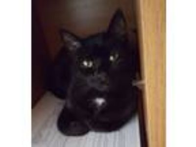 Adopt Geronimo a Black (Mostly) Domestic Shorthair cat in Caledonia