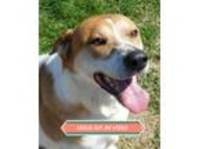Adopt DUGGER a Labrador Retriever, Mixed Breed