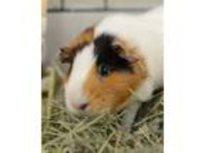 Adopt Ashley a Guinea Pig small animal in Novato, CA (25682137)