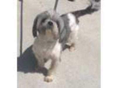 Adopt Toby a Lhasa Apso, Mixed Breed