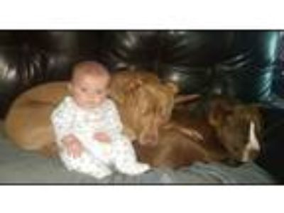 Adopt Moe a Brown/Chocolate - with White American Pit Bull Terrier / Mixed dog