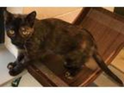 Adopt Tammy a Domestic Short Hair