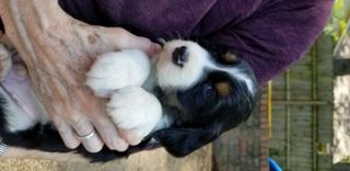 English Springer Spaniel PUPPY FOR SALE ADN-78357 - Beautiful Unplanned Litter