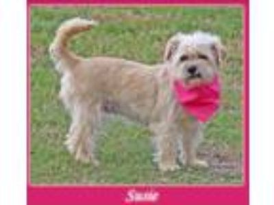 Adopt Susie a Tan/Yellow/Fawn - with White Shih Tzu / Terrier (Unknown Type