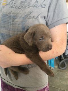 Labrador Retriever PUPPY FOR SALE ADN-88778 - AKC registered Silver Labrador puppies