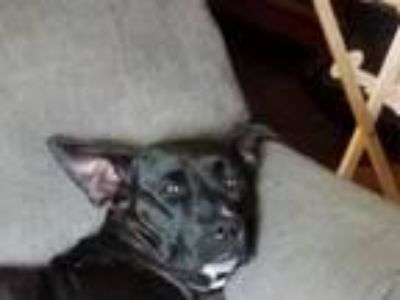 Adopt Lucy a Black - with White Labrador Retriever / American Pit Bull Terrier /