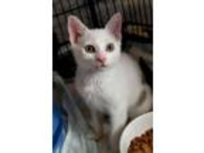 Adopt Sport a White Domestic Shorthair / Domestic Shorthair / Mixed cat in