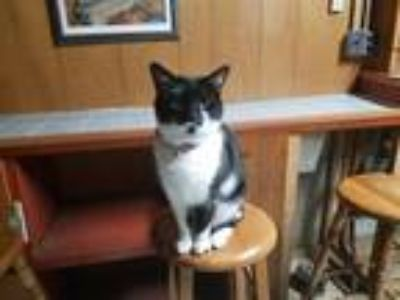 Adopt Domino a Black & White or Tuxedo Domestic Shorthair / Mixed cat in Cudahy