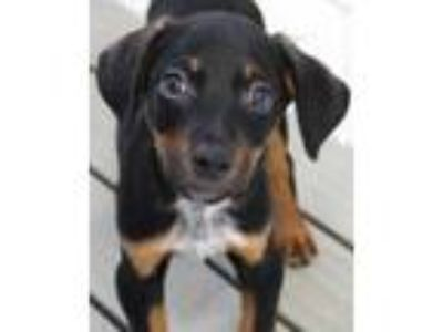 Adopt Romper a Black Beagle / Terrier (Unknown Type, Small) / Mixed dog in