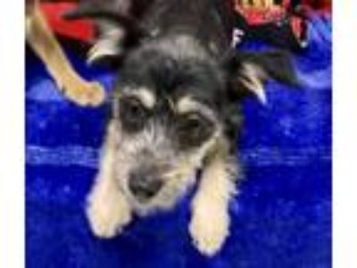 Adopt Cindy a Black - with Brown, Red, Golden, Orange or Chestnut Schnauzer