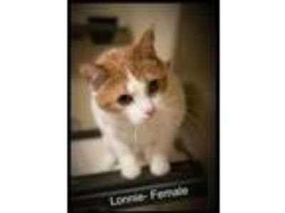 Adopt Lonnie a Orange or Red Domestic Shorthair / Domestic Shorthair / Mixed cat