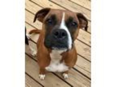 Adopt Courtesy Listing: Rowan a Tan/Yellow/Fawn Boxer / Mixed dog in Brentwood