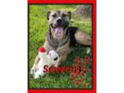 Adopt Severus a Black - with Tan, Yellow or Fawn Labrador Retriever / Shepherd