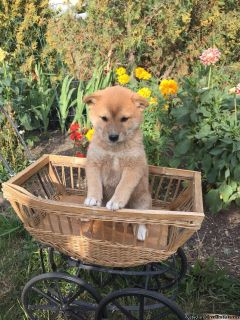 Chowba ( Chow chowX Shiba Inu) puppies for sale!!