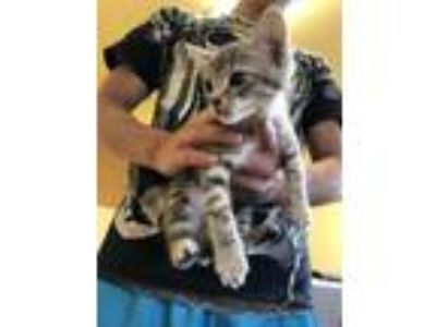 Adopt Bengal a Domestic Short Hair