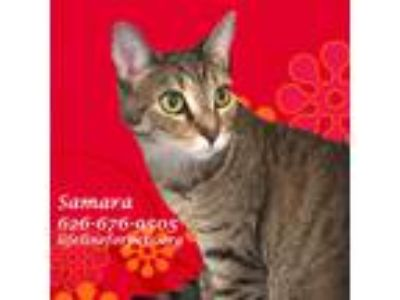 Adopt Adopt SAMARA, Lovebug #2 a Brown Tabby Domestic Shorthair (short coat) cat